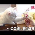 羊毛フェルトで作られた自分の顔を執拗に攻撃する猫!